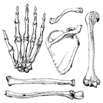 Conjunto de ossos da mão humana com escápula e clavícula.