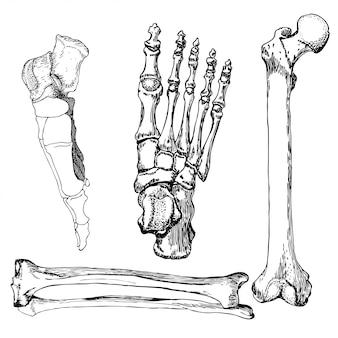Conjunto de ossos da perna humana com o pé.