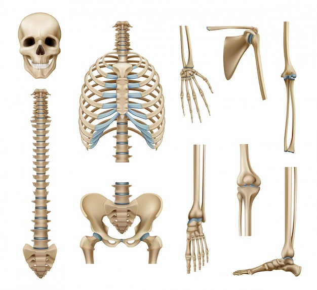 Conjunto de peças de esqueleto humano realista
