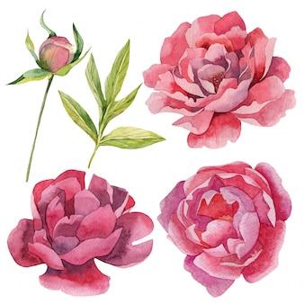 Conjunto de peônias aquarela realista flores e botões