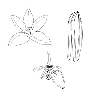 Conjunto de planta de baunilha, flor, vagens e folhas, ilustração vetorial, esboço