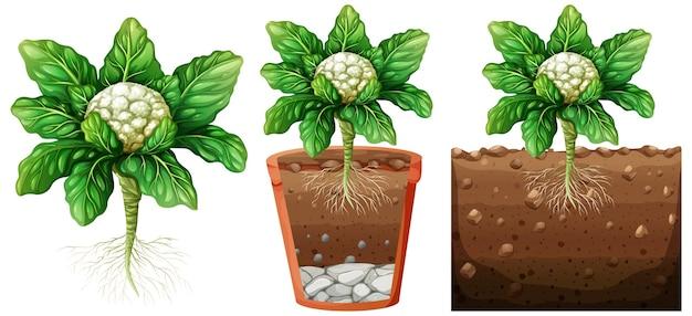 Conjunto de planta de couve-flor