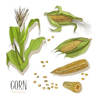 Conjunto de planta de milho. milho de coleção desenhada mão colorido. ilustração.