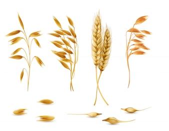 Conjunto de plantas de cereais, espigas de aveia, cevada, trigo ou centeio com grãos isolados