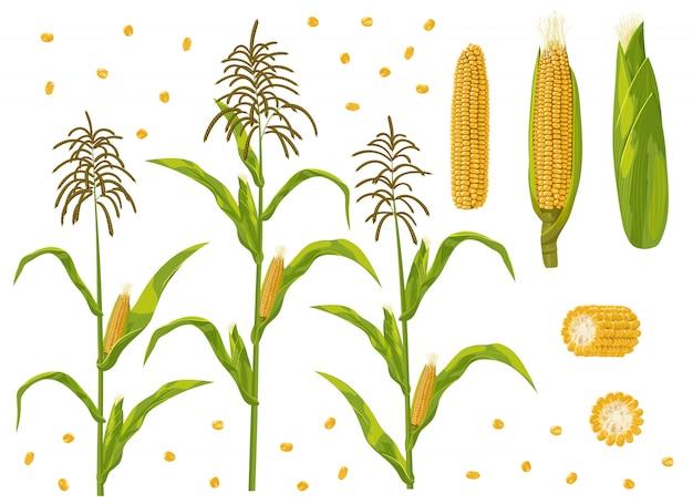 Conjunto de plantas de espiga de milho, grãos e milho