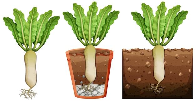 Conjunto de plantas de rabanete com raízes isoladas no fundo branco