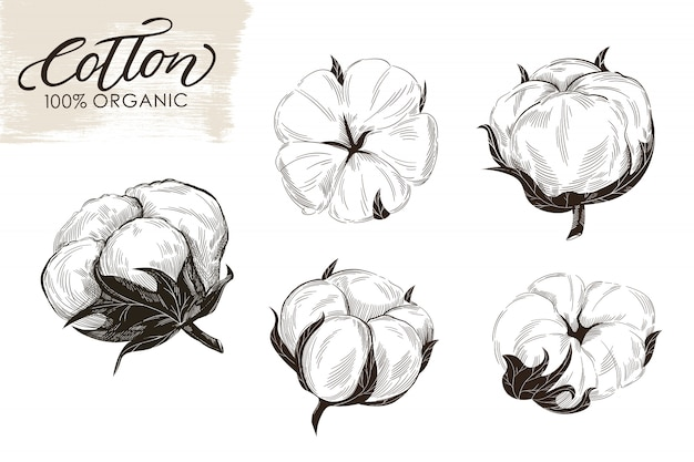 Conjunto de ramos de algodão mão ilustrações desenhadas.