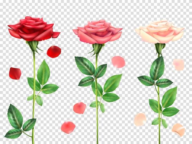 Conjunto de rosas realistas