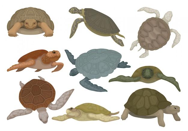Conjunto de tartarugas em várias vistas, animais de réptil de tartaruga sobre um fundo branco