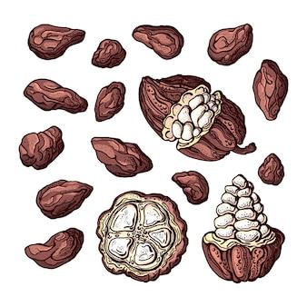 Conjunto de tinta de cacau desenho de cor botânica de frutos de feijão