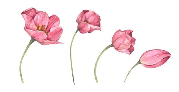 Conjunto de tulipas cor de rosa. ilustração botânica floral em aquarela.