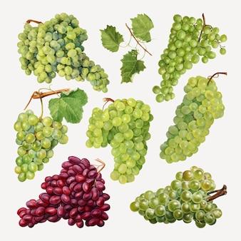 Conjunto de uvas frescas naturais desenhadas à mão
