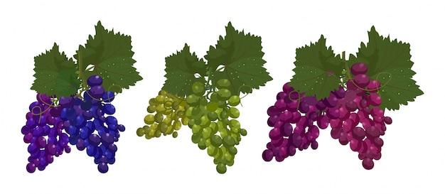 Conjunto de uvas isolado no fundo branco ilustração vetorial