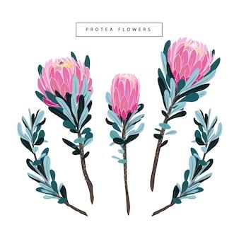 Conjunto de vetor de protea vintage floral