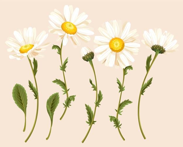 Conjunto de vetores de flor de camomila