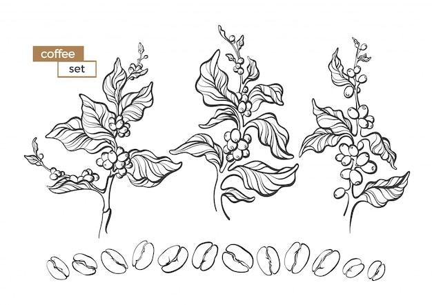 Conjunto de vetores de galho de árvore de café com flores, folhas e feijão no fundo branco