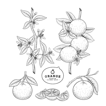Conjunto decorativo de citrinos de esboço de vetor.