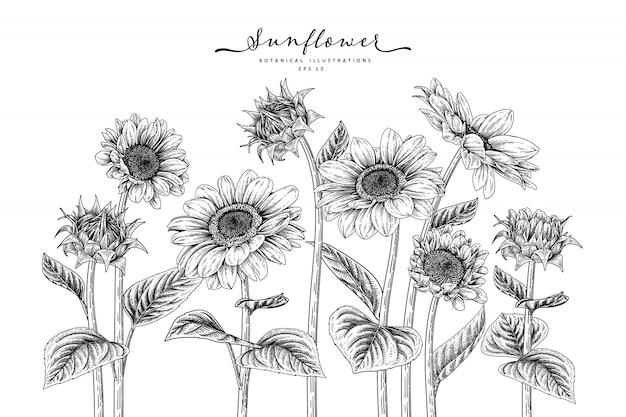 Conjunto decorativo floral de esboço. desenhos de girassol.