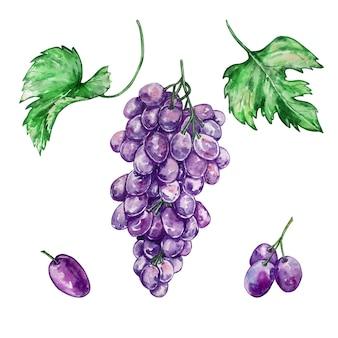 Conjunto desenhado à mão em aquarela de grande cacho de uvas e uvas roxas separadamente e duas grandes folhas verdes