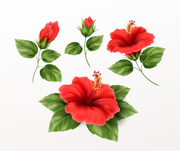 Conjunto é flor de hibisco lindo, brotos e folhas no fundo. planta tropical exótica realista
