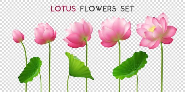 Conjunto realista de flores de lótus