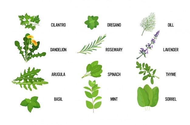 Conjunto realista erva fresca folhas verdes conceito de comida saudável coleção horizontal