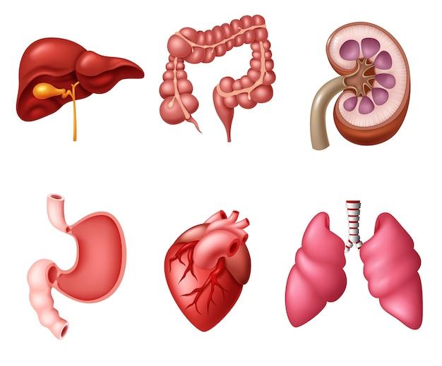 Conjuntos de sistema digestivo humano interno