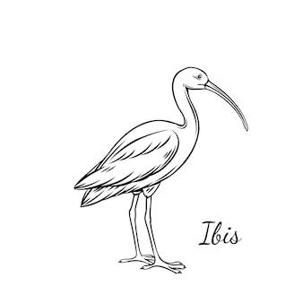 Contorno de íbis. ilustração de íbis pássaro americano para animal do zoológico