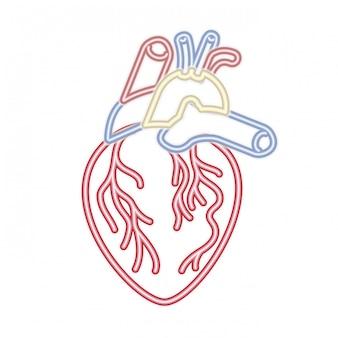 Coração, com, veias, isolado, ícone