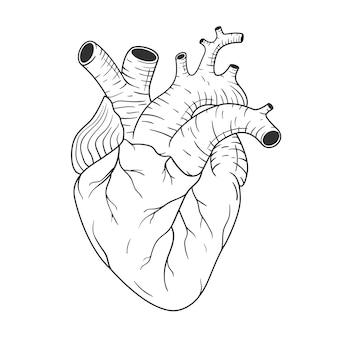 Coração humano anatomicamente correto mão desenhada linha arte. vetor desenho preto e branco