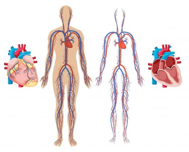 Coração humano e sistema cardiovascular