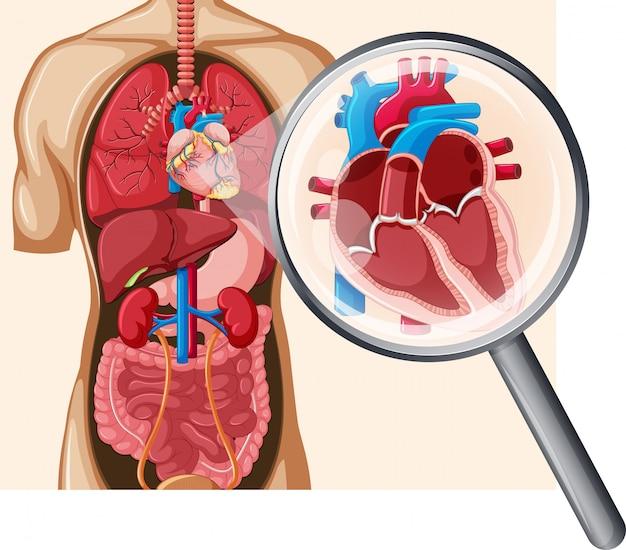 Coração humano e sistema circulatório