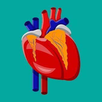 Coração humano. órgão interno.