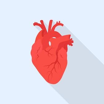 Coração humano vermelho. órgão interno isolado no fundo.