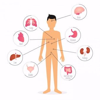 Corpo humano com órgãos internos. infografia de cuidados de saúde de corpo humano.