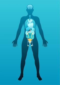 Corpo masculino humano com esquema de órgãos internos