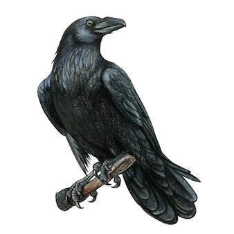 Corvo ocidental preto realista em aquarela