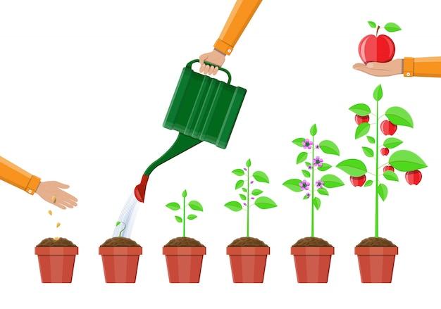 Crescimento da planta, do broto à fruta.