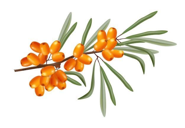 Culturas de plantas isoladas realistas de vetor de ramo de buckthorn