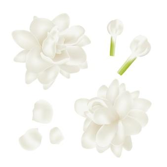 Definir flor de jasmim branco realista.