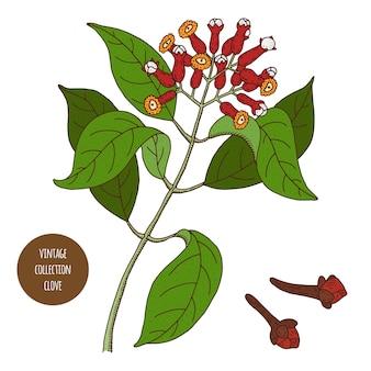 Dente de alho. ilustração em vetor botânica vintage mão desenhada isolada. estilo de desenho. cozinha ervas e especiarias.