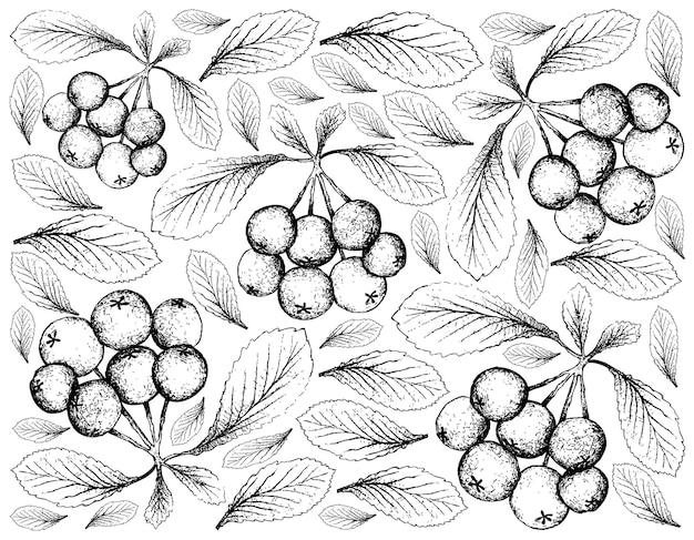 Desenhado à mão de frutas de bagas de firethorn em fundo branco