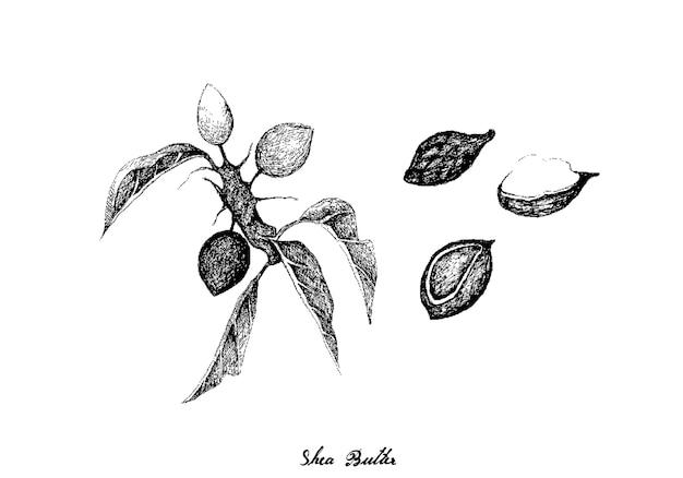 Desenhado à mão de frutas de manteiga de karité em fundo branco
