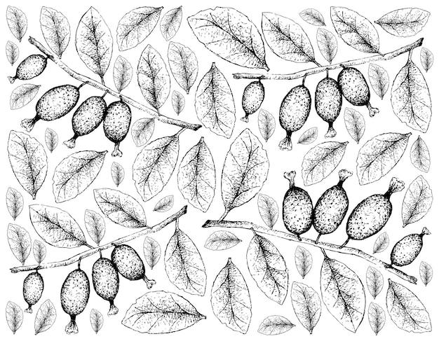 Desenhado à mão de frutas elaeagnus latifolia em fundo branco