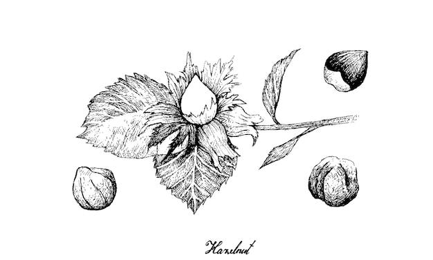 Desenhado à mão de nozes de avelã em um galho