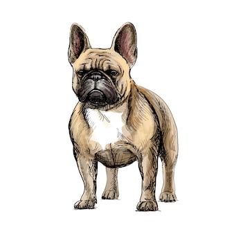 Desenho a mão de um lindo cão bulldog francês em fundo branco. ilustração vetorial