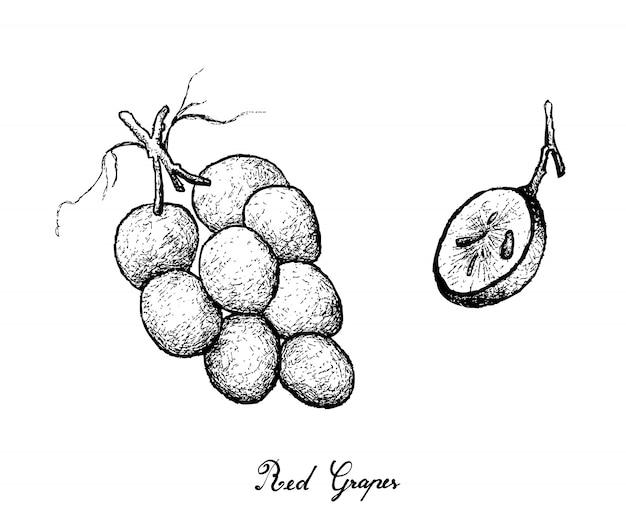 Desenho à mão de uvas vermelhas suculentas frescas