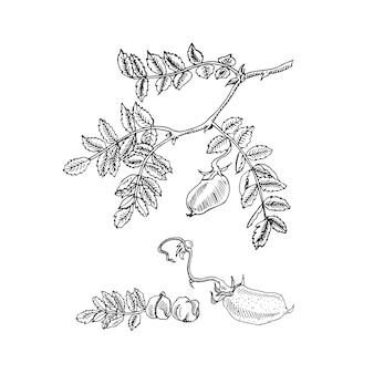 Desenho a mão esboço verde grão de bico em um galho, isolado na ilustração branca