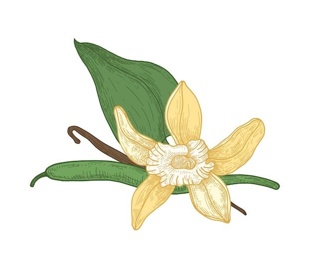 Desenho botânico detalhado de flores, folhas e vagens de baunilha em flor