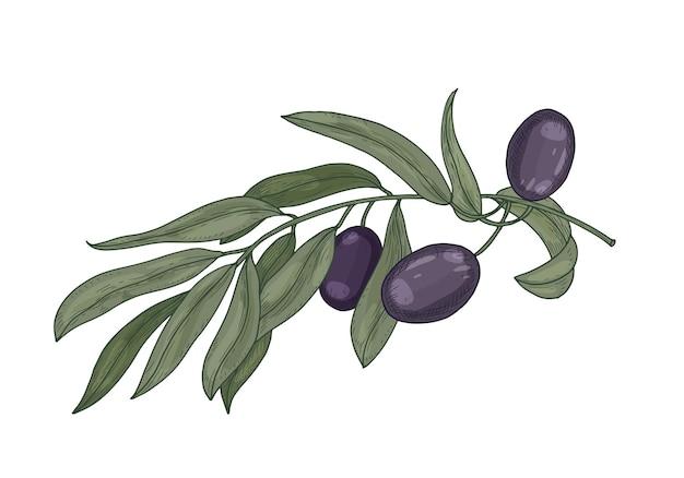 Desenho botânico detalhado de galho de oliveira com folhas isoladas em branco